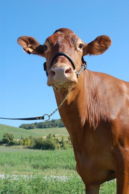 Vacca razza reggiana - Grana d'Oro