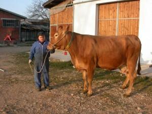 Matteo Catellani con un esemplare di vacca rossa