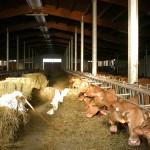 La stalla delle vacche rosse Grana d'Oro