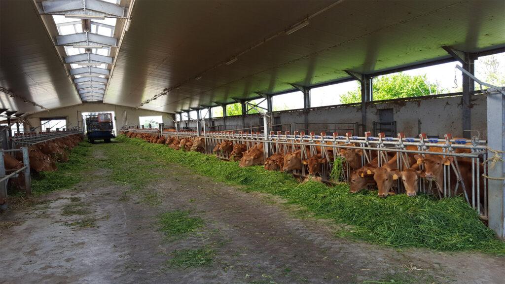 Vacche rosse razza reggiana la stalla, Grana d'Oro Parmigiano Reggiano, Cavriago